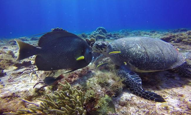 French Angel Fish, Hawksbill Sea Turtle