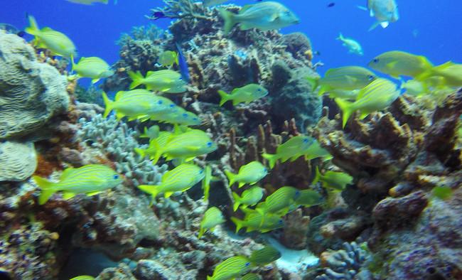 Fire Coral, Bluestriped Grunts