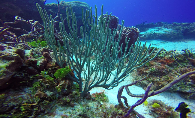 Slit-pore Sea Rods, Rope Sponge