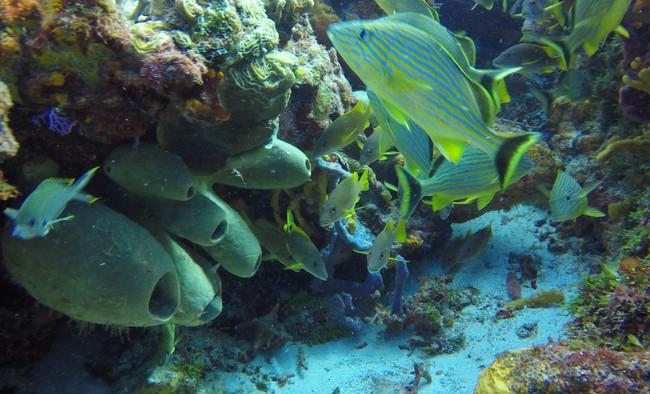 Tube Sponge, Bluestriped Grunt