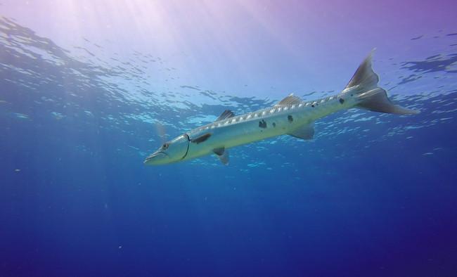 Great Barracuda