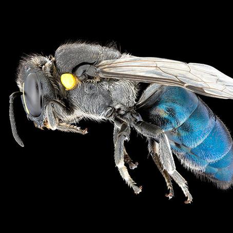 The secret lives of blue banksia bees