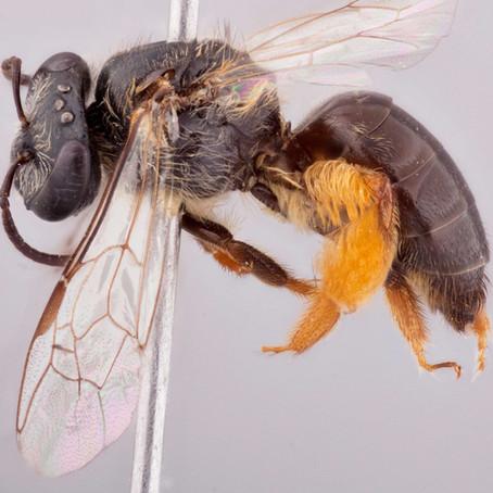 'A very ordinary' bee: The enigmatic Leioproctus philonesus