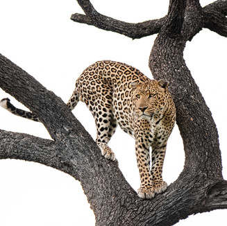 Leopard by Cristo Noir