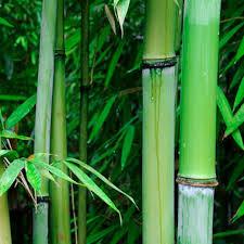 accent bamboo.jpeg