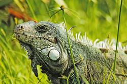 Iguana closup