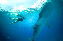 snorkel whale shark