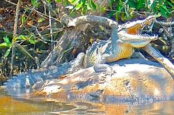 Tovara croc
