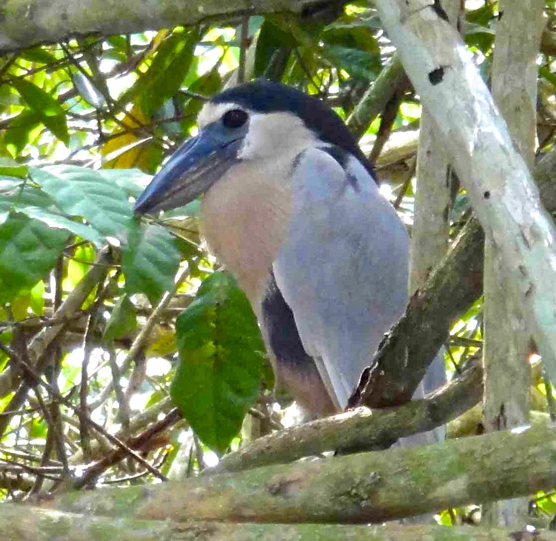BB Heron