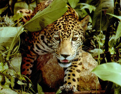Jaguar closup