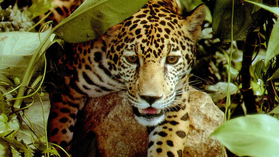 Jaguar closup.jpg