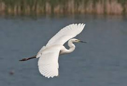 accent heron flying
