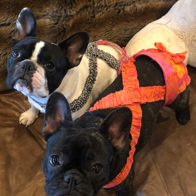 French Bulldog Diapers Panties Britches with Optional Suspenders