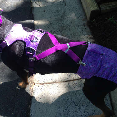 Dog Diapers with Suspenders and Harness
