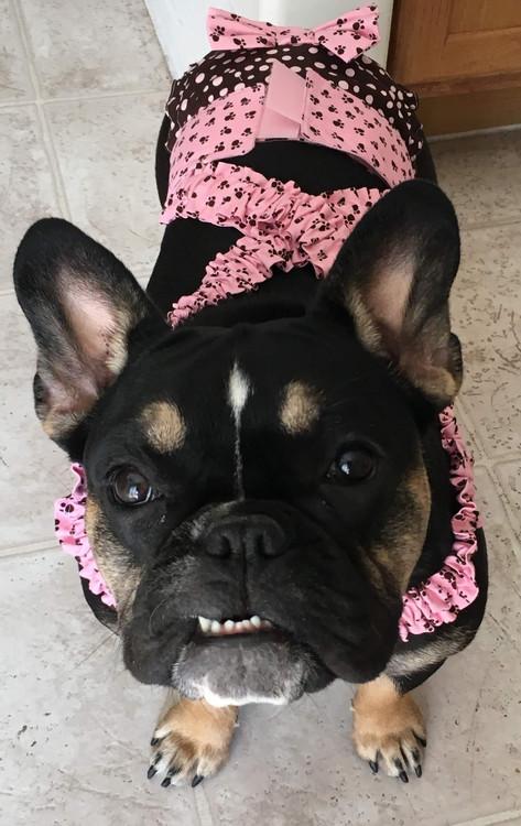 French English Bulldog