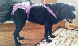 Labrador Retriever Dog Diapers Panties Britches