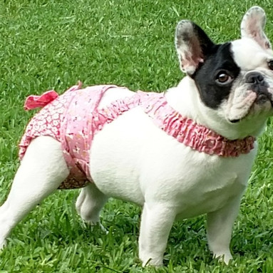 French Bulldog Diapers Panties Britches
