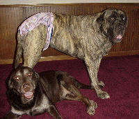 Bitch Britches Dog Diapers Panties for Mastiffs