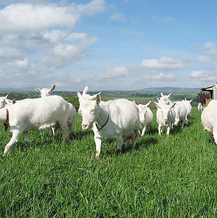 Penang Private Tour Saanen Dairy Goat Fa