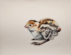 California Quail Chick