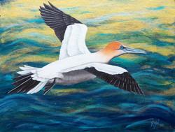 Gannet at Sea