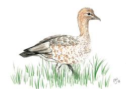 Australian Wood Duck (female)