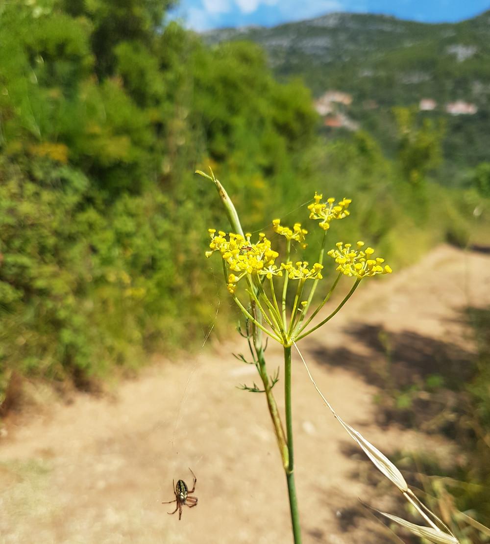 wild fennel pollen in Croatia by Nicole of wellnessplaceint