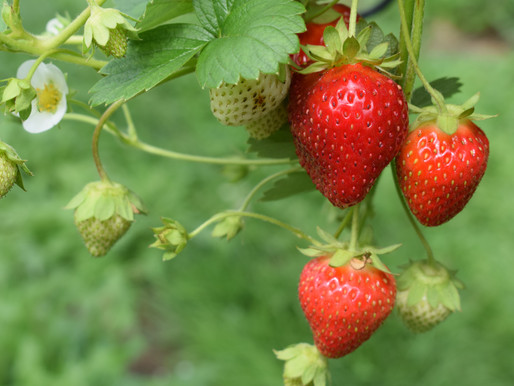How many pesticides does it take to grow a strawberry?