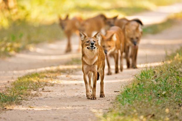 The dhole remains an enigma, even as it struggles for survival