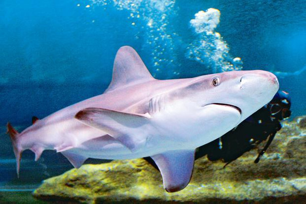 Will ban on finning save the shark?