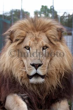 Enoch Lion