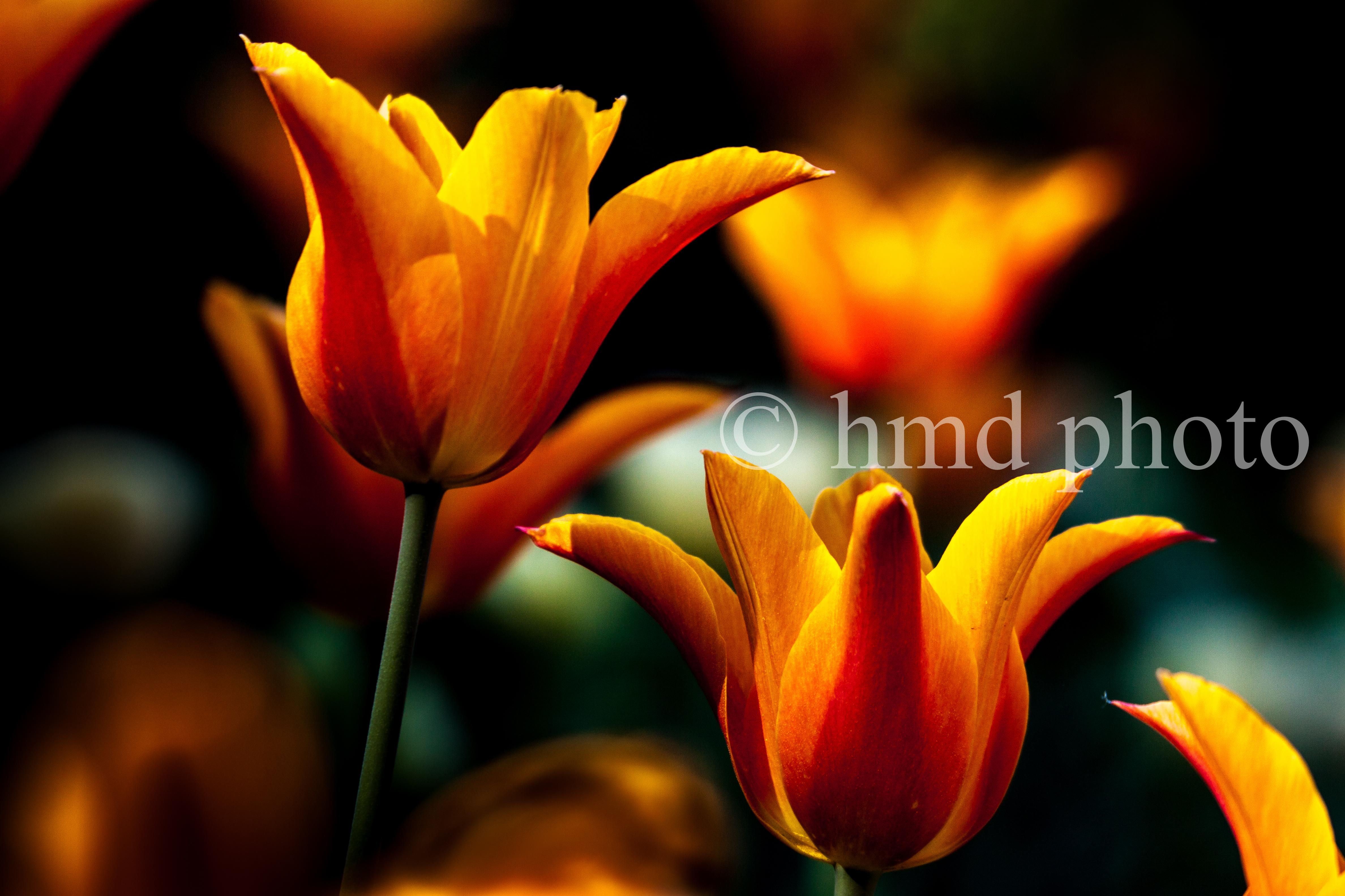 tulips at Duke Gardens NC