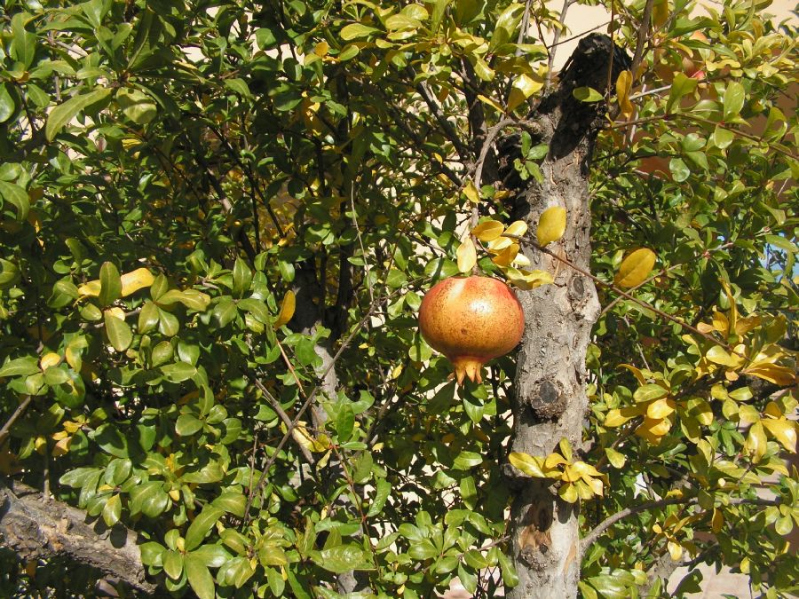 pommegranate tree