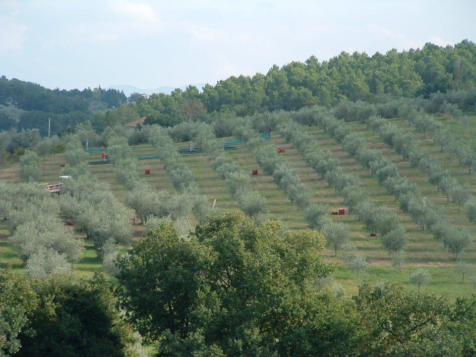 Colli Martani oliveti