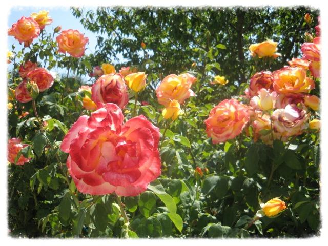 Rose in Spello