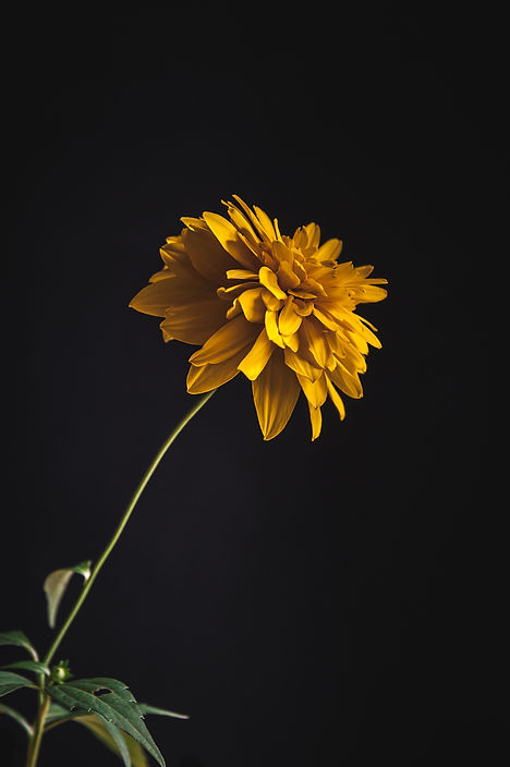 dark mood photgraphy, yellow flower, stil life, flower close up