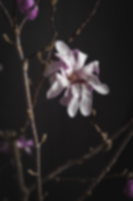 dark mood photography, magnolia flower, pink, still life