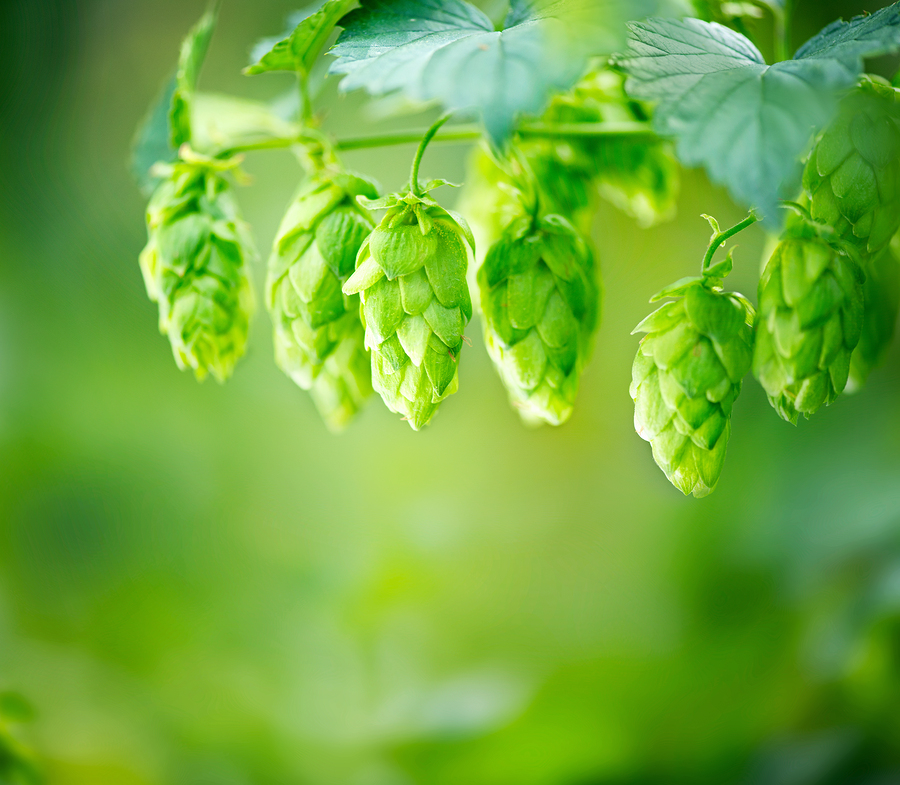 bigstock-Hop-plant-close-up-growing-on--
