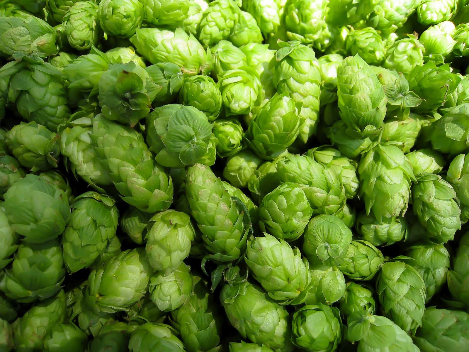 Close-Up-Hops