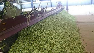 hops10.png