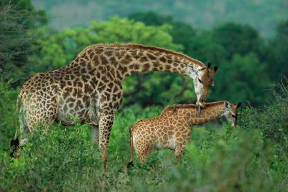 Giraffe-Grooming-Phinda-Game-Reserve-South-Africa