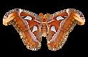 Attacus_atlas_Transparent.png