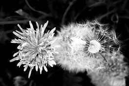 dandelion-4020346_edited.jpg