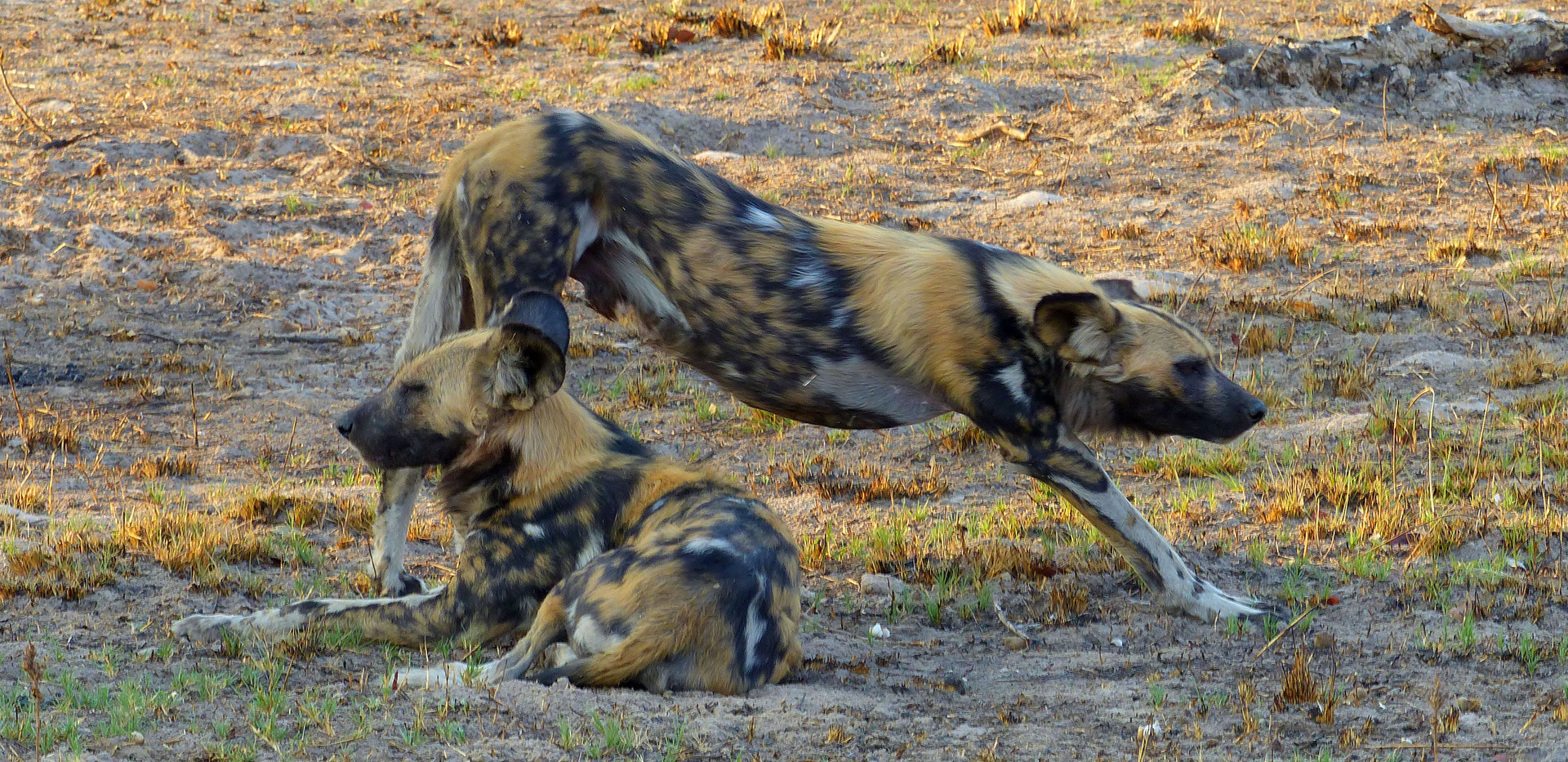 Wild Dog - Kafue