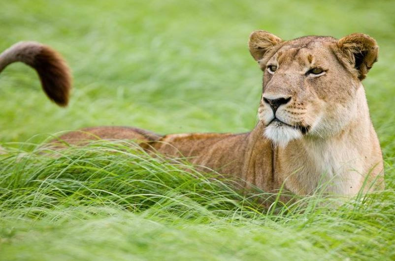 Lioness in the Plains - Kafue