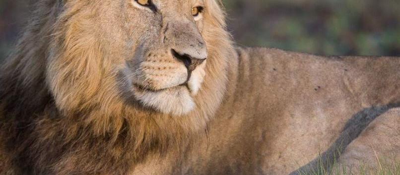 Male Lion - Kafue