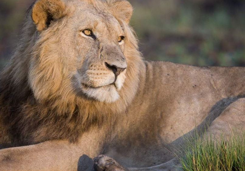 Male Lion - Kafue