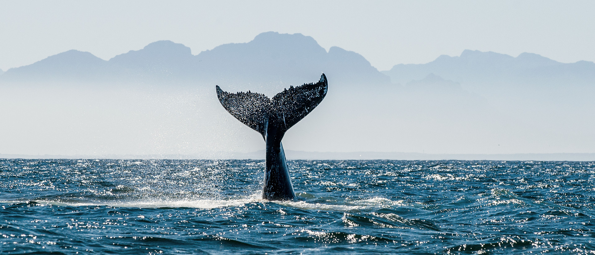 Southern Wright Whale - Hermanus