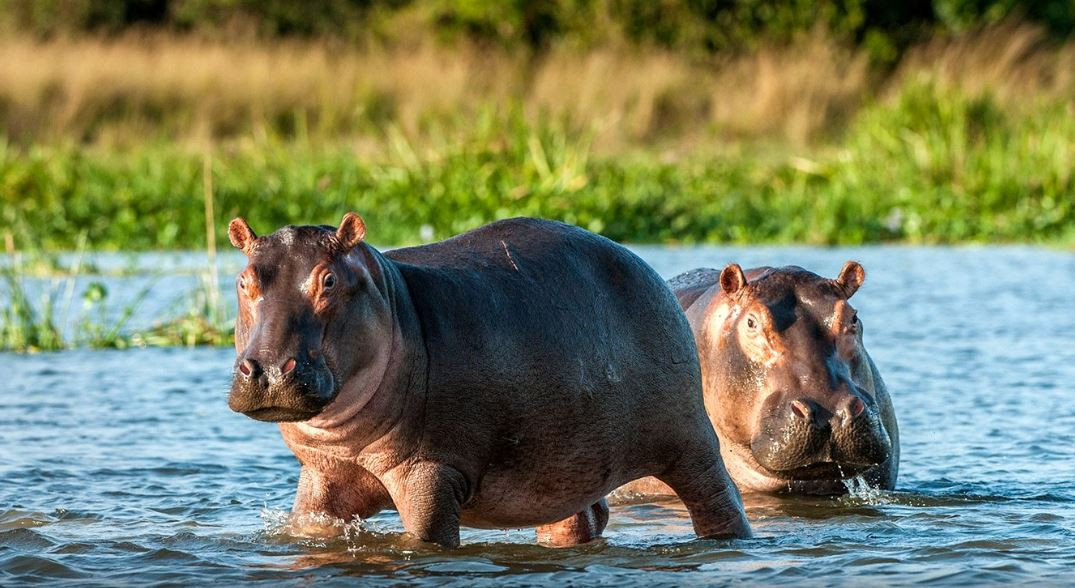Hippos in the Kafue