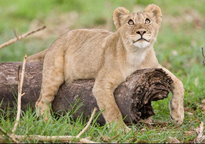 Lion Cub - Kafue
